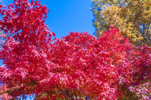秋の彩り富士河口湖紅葉まつりの写真素材 [FYI04733875]