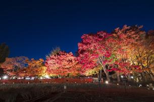 富士河口湖紅葉まつりライトアップの写真素材 [FYI04733911]