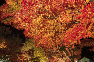 富士河口湖紅葉まつりライトアップの写真素材 [FYI04733916]