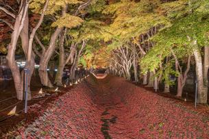 富士河口湖紅葉まつりライトアップの写真素材 [FYI04733925]