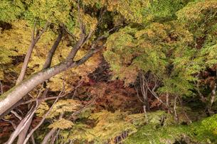 富士河口湖紅葉まつりライトアップの写真素材 [FYI04733927]