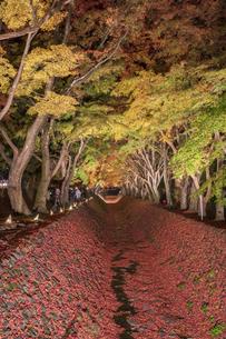 富士河口湖紅葉まつりライトアップの写真素材 [FYI04733930]