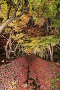 富士河口湖紅葉まつりライトアップの写真素材 [FYI04733933]