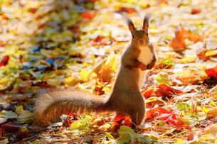 秋のエゾリスの写真素材 [FYI04733938]