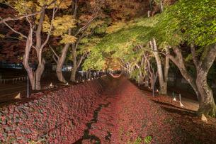 富士河口湖紅葉まつりライトアップの写真素材 [FYI04733940]