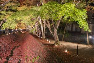 富士河口湖紅葉まつりライトアップの写真素材 [FYI04733944]