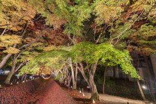 富士河口湖紅葉まつりライトアップの写真素材 [FYI04733949]