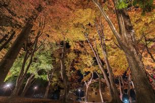 富士河口湖紅葉まつりライトアップの写真素材 [FYI04733951]