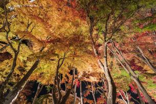 富士河口湖紅葉まつりライトアップの写真素材 [FYI04733962]