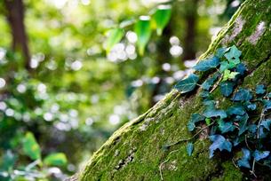 苔の付いた木の写真素材 [FYI04734050]