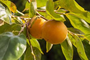 富有柿の写真素材 [FYI04734057]