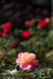 ピンクのばらのあるばら園の写真素材 [FYI04734059]