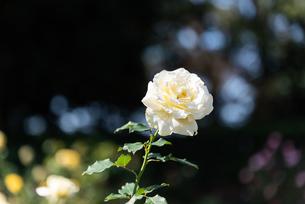 白いばらのあるばら園の写真素材 [FYI04734060]