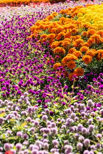 福岡市植物園の花壇とばらの写真素材 [FYI04734064]