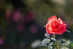 一輪の赤いばらの写真素材 [FYI04734069]