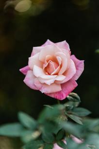 一輪のピンクのばらの写真素材 [FYI04734071]