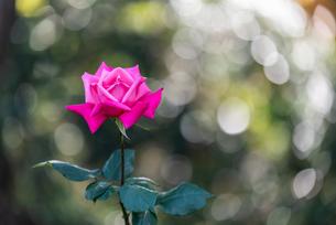 一輪のピンクのバラと玉ボケの写真素材 [FYI04734073]