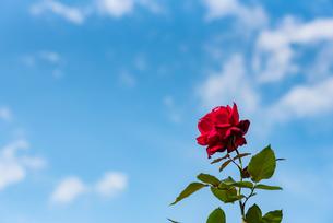赤い一輪のバラと空の写真素材 [FYI04734074]
