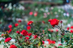 赤いばらのバラ園の写真素材 [FYI04734076]