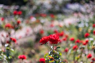 赤いばらのバラ園の写真素材 [FYI04734077]