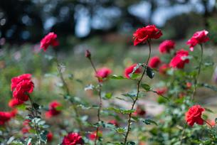 赤いばらのバラ園の写真素材 [FYI04734078]