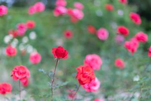 赤いばらのバラ園の写真素材 [FYI04734080]