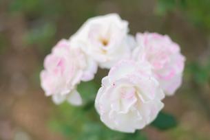 薄いピンクのばらの写真素材 [FYI04734083]
