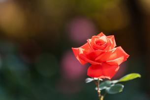 一輪の赤いバラの写真素材 [FYI04734090]