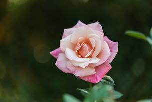 一輪のピンクのばらの写真素材 [FYI04734092]