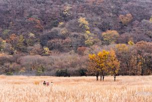 秋の久住タデ原湿原と登山者の写真素材 [FYI04734095]