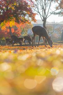 奈良公園の鹿と紅葉の写真素材 [FYI04734237]