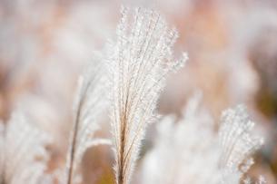 銀色に輝くススキの穂の写真素材 [FYI04734302]