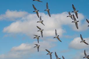 大空を飛翔するカモの写真素材 [FYI04734303]