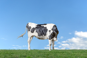 青空を背景に緑の牧草に立つ牛1頭全身の横姿の写真素材 [FYI04734454]
