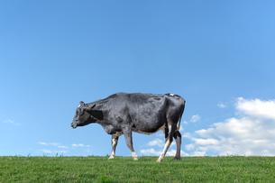 青空を背景に緑の牧草に立つ牛1頭全身の横姿の写真素材 [FYI04734457]