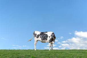 青空を背景に緑の牧草に立つ牛1頭全身の横姿の写真素材 [FYI04734458]
