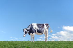 青空を背景に緑の牧草に立つ牛1頭全身の横姿の写真素材 [FYI04734459]