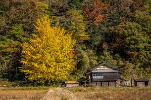 秋の山の中に古民家と並ぶイチョウの木。田舎の風景の写真素材 [FYI04734461]