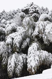 雪でしなる竹の写真素材 [FYI04734568]