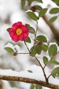 雪が積もったツバキの写真素材 [FYI04734572]