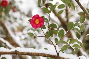 雪が積もった椿の写真素材 [FYI04734573]