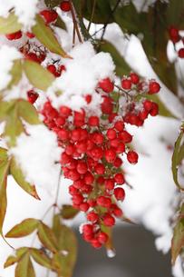ナンテンと雪の写真素材 [FYI04734576]