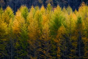 カラ松の防風林の写真素材 [FYI04734592]