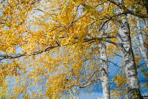 秋の白樺の写真素材 [FYI04734594]