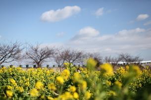 菜の花畑と冬の空の写真素材 [FYI04734600]