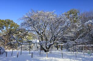 六義園シダレザクラの雪景色の写真素材 [FYI04734623]
