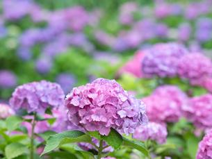 雨上がりのアジサイの花の写真素材 [FYI04734860]