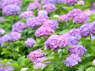 雨上がりのアジサイの花の写真素材 [FYI04734869]