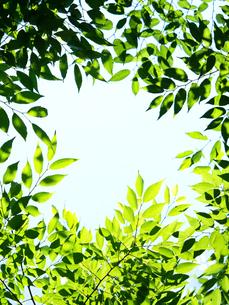 新緑のケヤキの葉の写真素材 [FYI04734975]