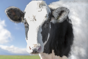 青空と緑の牧場を背景にしたカメラ目線の牛正面の写真素材 [FYI04735189]